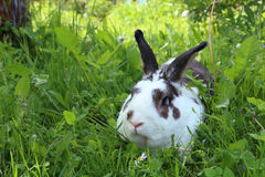 Potrait of twocollored rabbit in long grass Royalty Free Stock Images