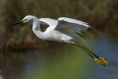 Potrait van de Grote aigrette alba Ardea stock foto's