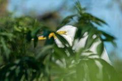 Potrait van de Grote aigrette alba Ardea royalty-vrije stock foto