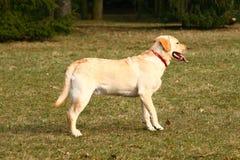 Potrait van een hond stock afbeelding