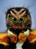 Potrait van het springen van spin met groene ogen stock afbeeldingen