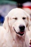 Potrait of white  labrador Retriever Royalty Free Stock Photography