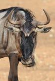 Potrait of wildebeest Stock Image