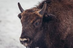 Wisent in Poland. Potrait of young wisent in Bialowieza Forest National Park in Poland Royalty Free Stock Image
