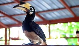 Potraiture dell'uccello del bucero con il softfocus su fondo Immagini Stock Libere da Diritti