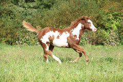 Potro agradable del caballo de la pintura que corre en otoño Fotos de archivo
