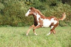 Potro agradable del caballo de la pintura que corre en otoño Imagen de archivo libre de regalías