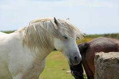 Potro blanco de Dartmoor que se coloca relajado con un fondo natural del campo fotos de archivo