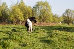 Potro blanco y negro de la raza del caballo Los caballos pastan en el prado El caballo est? comiendo la hierba fotos de archivo
