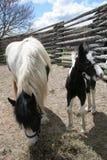 Potro blanco y negro junto a caballo de la mamá imagen de archivo libre de regalías