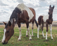 Potro bonito, cavalo do bebê, no pasto Imagens de Stock Royalty Free