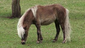 Potro, caballo miniatura, caballos, animales del campo almacen de metraje de vídeo