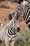 Potro da zebra Foto de Stock Royalty Free