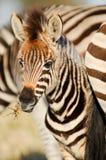 Potro da zebra Fotografia de Stock