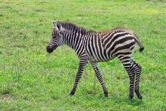 Potro da zebra Foto de Stock