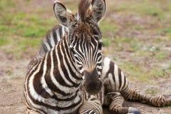 Potro da zebra das planícies que encontra-se na terra fotografia de stock