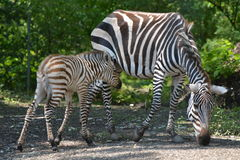 Potro da zebra de Grant com égua Imagem de Stock