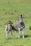 Potro da zebra que alimenta no selvagem Fotografia de Stock