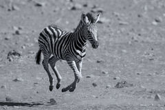 Potro da zebra que corre longe do perigo à mamã Foto de Stock Royalty Free