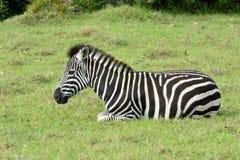 Potro da zebra que descansa no selvagem Imagens de Stock Royalty Free