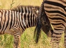 Potro da zebra que esconde atrás da cauda da represa foto de stock royalty free