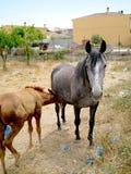 Potro de Brown que alimenta da mamã preta do cavalo no campo Imagem de Stock