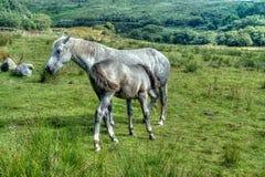 Potro de Connemara Imágenes de archivo libres de regalías