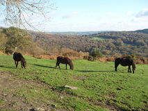 Potro de Dartmoor Imagen de archivo