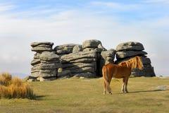Potro de Dartmoor en el Tor de Combestone Foto de archivo libre de regalías