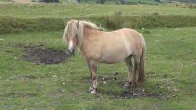 Potro de Dartmoor Parque nacional Reino Unido de Dartmoor metrajes