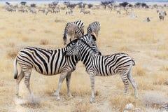 Potro de la cebra con la madre en arbusto africano Foto de archivo
