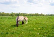 Potro de los jóvenes al lado de su caballo de la madre de Konik Fotografía de archivo
