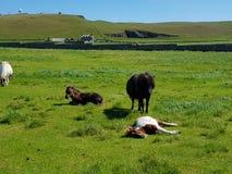 Potro de Shetland Imagen de archivo
