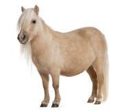 Potro de Shetland del Palomino, caballus del Equus Foto de archivo libre de regalías