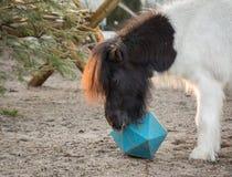 Potro de Shetland que juega con la bola, como él intenta conseguir las invitaciones del juguete de la bola del caballo imagen de archivo