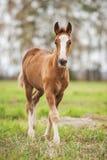 Potro del bebé del caballo de proyecto Foto de archivo