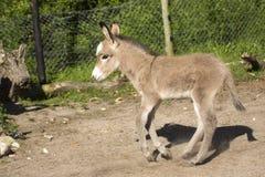 Potro del burro del bebé Fotografía de archivo libre de regalías
