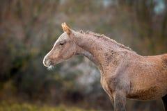 Potro del caballo árabe en otoño fotos de archivo