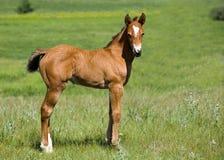 Potro del caballo cuarto Fotografía de archivo libre de regalías