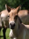 Potro del caballo de Przewalski fotografía de archivo