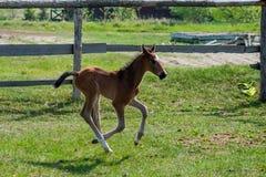 Potro del caballo que camina en un prado Imagen de archivo libre de regalías