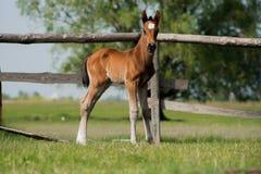 Potro del caballo que camina en un prado Foto de archivo libre de regalías