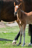 Potro del caballo que camina en un prado Fotografía de archivo