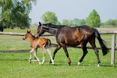 Potro del caballo que camina en un prado Fotos de archivo