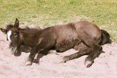 Potro del caballo salvaje imagen de archivo
