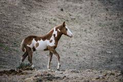 Potro del caballo salvaje del lavabo de la arena Imágenes de archivo libres de regalías