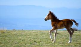 Potro del caballo salvaje en la montaña del puesto de observación Imagenes de archivo