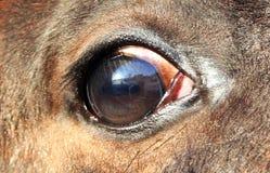Potro del ojo Imagen de archivo libre de regalías