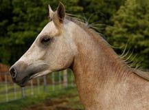 Potro do Arabian dos anos de idade dois fotos de stock royalty free