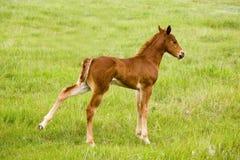 Potro do cavalo de um quarto foto de stock